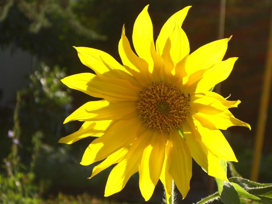 ~+~ Sonnenblume/ Klappe die Erste ~+~