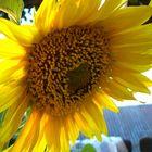 ~+~ Sonnenblume/ Klappe die Zweite ~+~