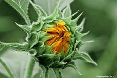 Sonnenblume mal anders :-)