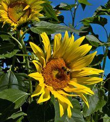 Sonnenblume mit Besucher!