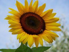 Sonnenblume mit Bienenbesuch