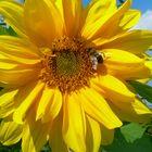 Sonnenblume mit einer fleißigen Biene