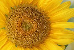 Sonnenblume mit Herz