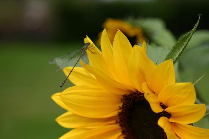 Sonnenblume mit Libelle