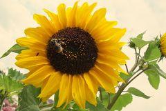 Sonnenblume mit nasser Hummel nach dem Regen