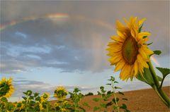 Sonnenblume mit Regenbogen (1)