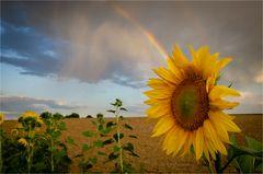 Sonnenblume mit Regenbogen (2)