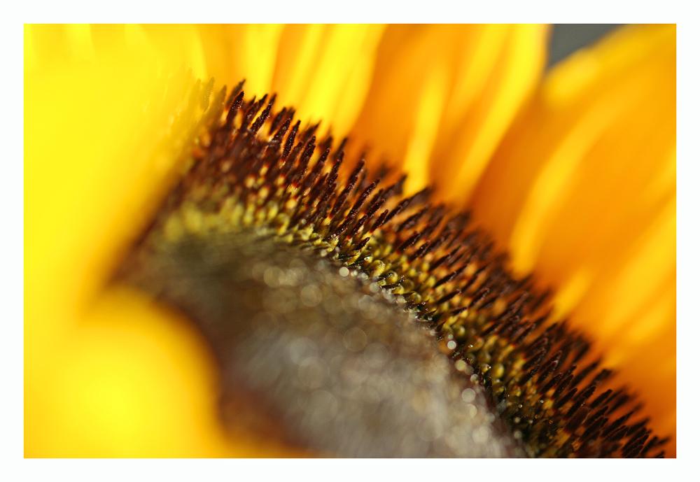 Sonnenblume No. 1
