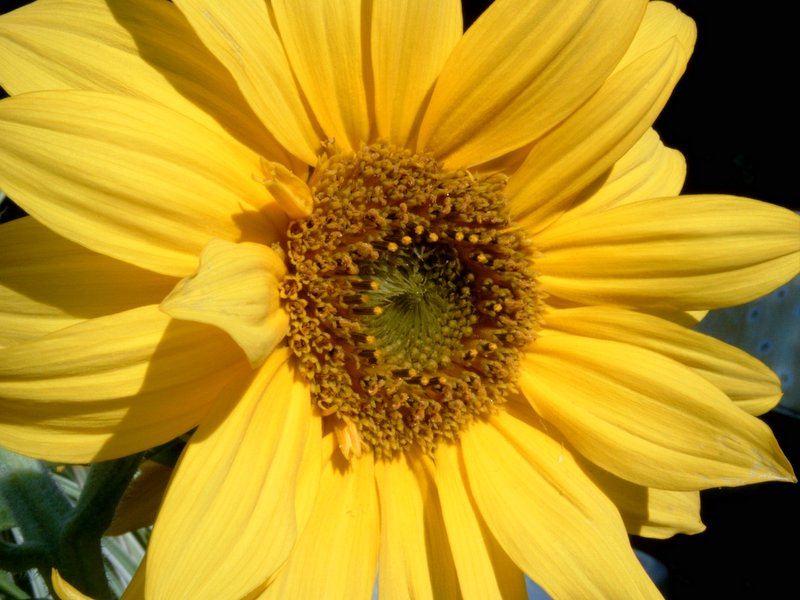 Sonnenblume No 1