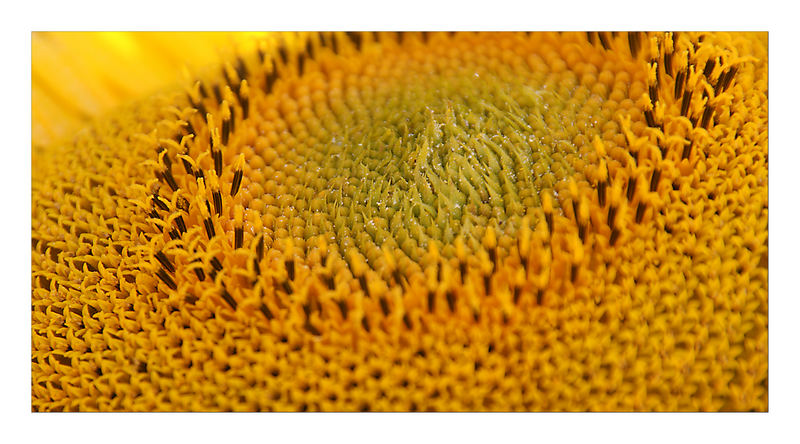 "Sonnenblume ""ohne"""