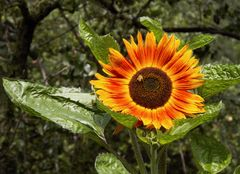 """Sonnenblume """"Ring of Fire"""""""