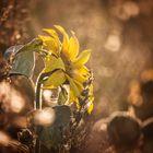 Sonnenblume sonnt sich in Abendsonne