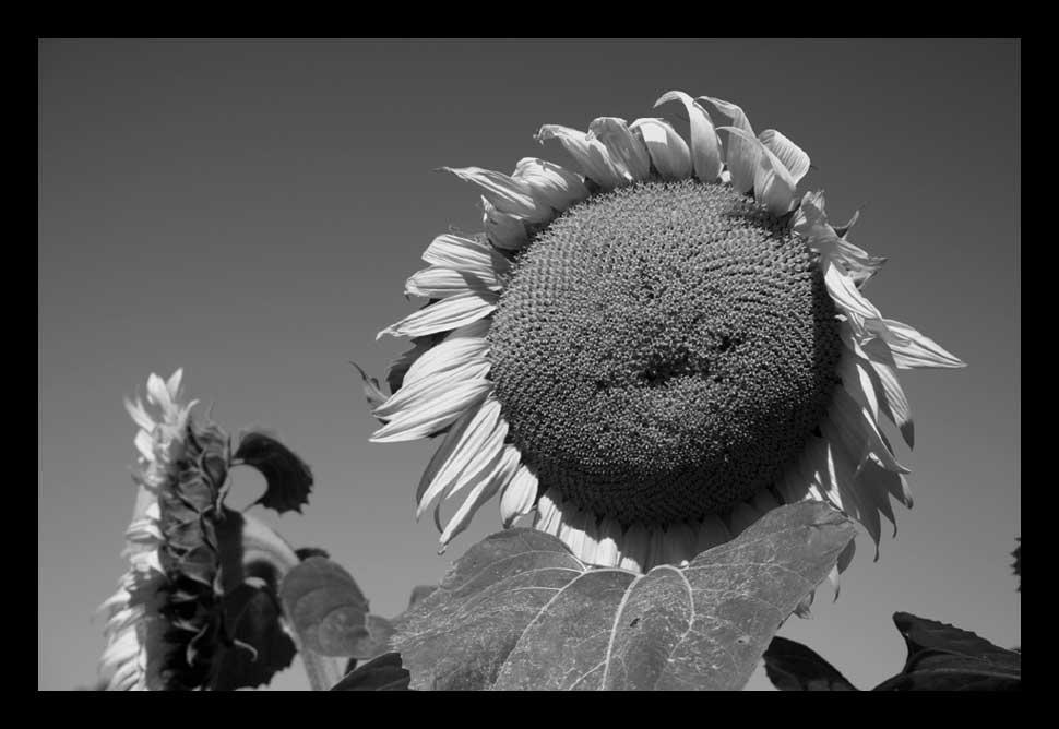 Sonnenblume s/w