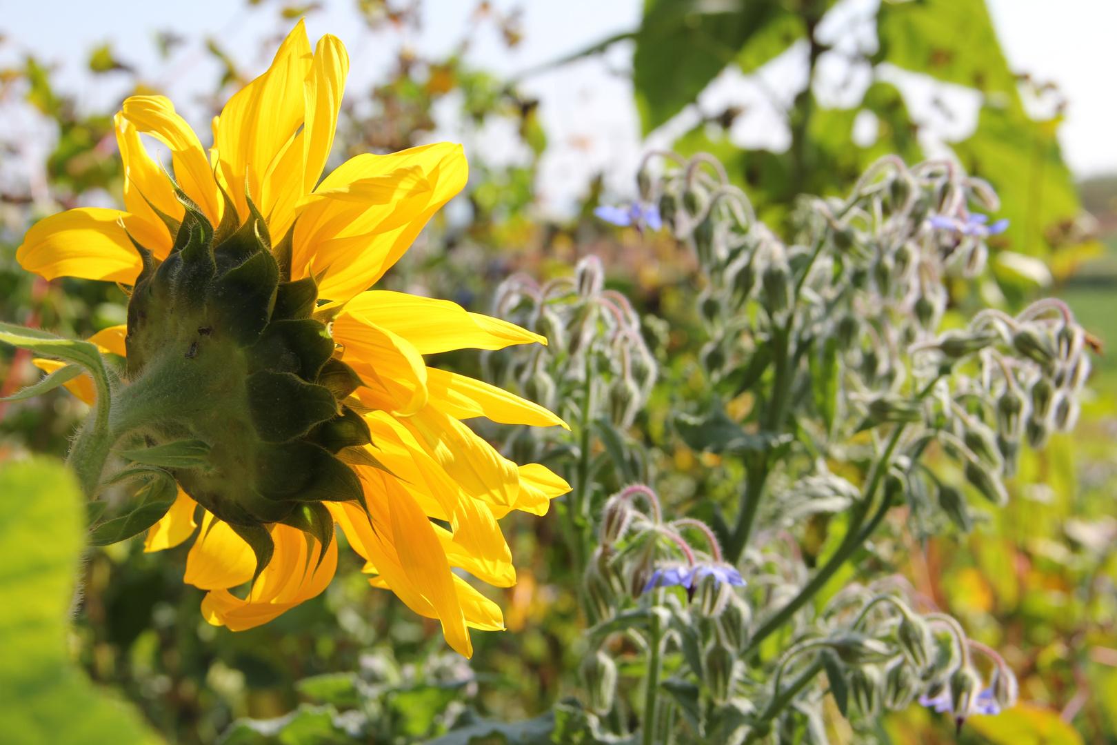 Sonnenblume und Borretsch