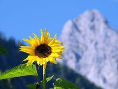 Sonnenblume vor Wetterstein