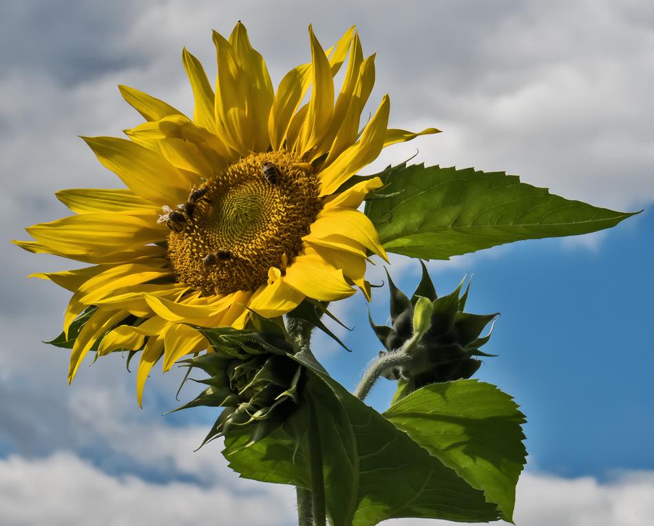 Sonnenblume zu Beginn des Herbstes