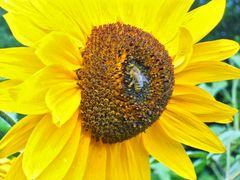 Sonnenblume01