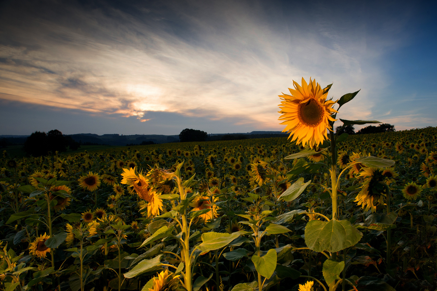 Sonnenblume1
