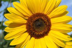 Sonnenblume20