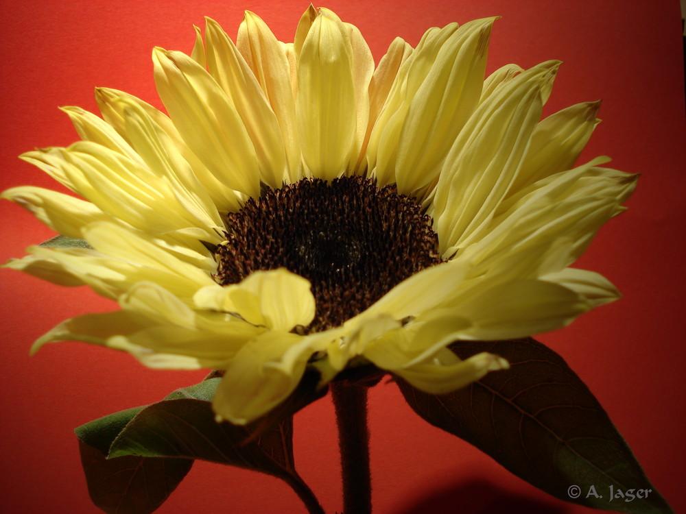 Sonnenblume..5