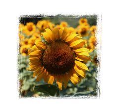 Sonnenblumen 0477