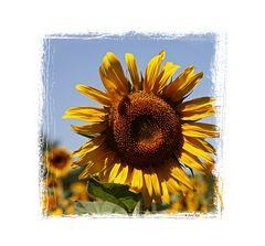 Sonnenblumen 0479