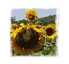 Sonnenblumen, 0481