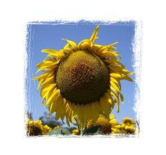 Sonnenblumen, 0494