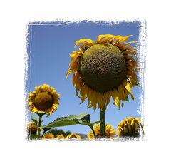 Sonnenblumen, 0495