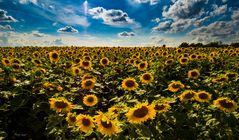 Sonnenblumen #1