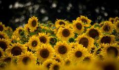 Sonnenblumen #3