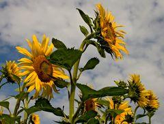 Sonnenblumen (3)