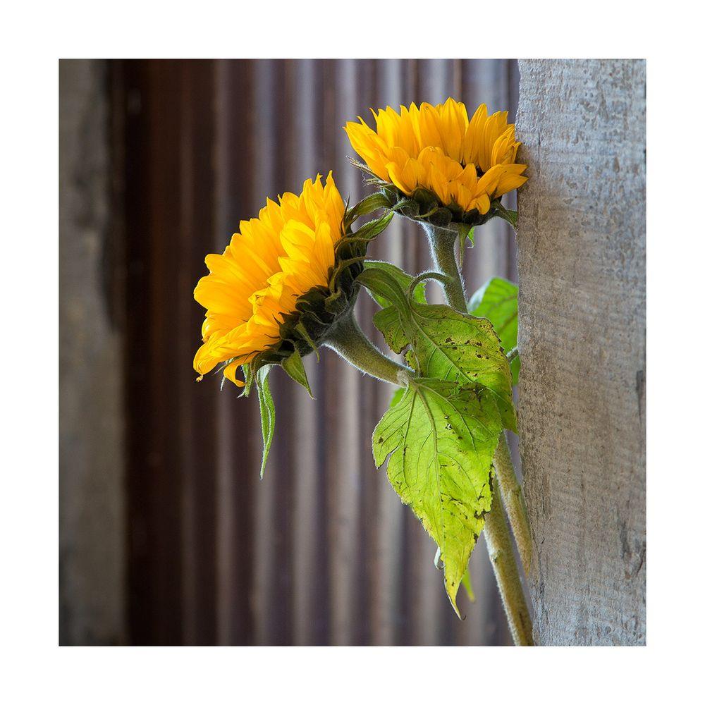 < Sonnenblumen >