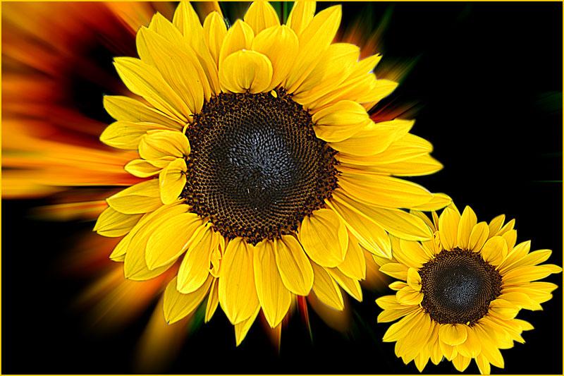 Sonnenblumen ...