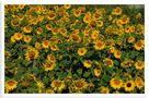 - Sonnenblumen - von Wolfgang Zerbst - Naturfoto