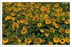 - Sonnenblumen -