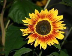 Sonnenblumen am Nachmittag