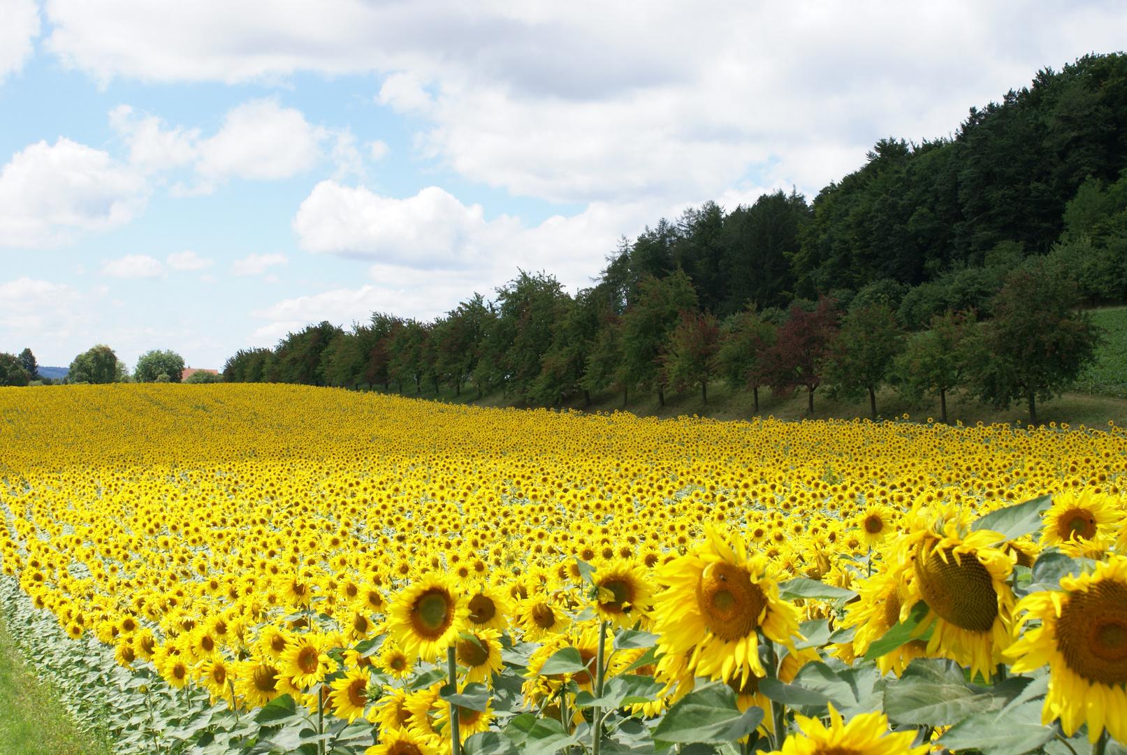 Sonnenblumen auf dem Seerücken Südseite