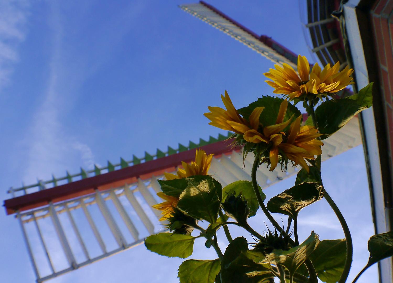 Sonnenblumen bei der Windmühle