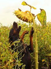 Sonnenblumen-Blues