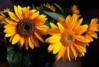 "Sonnenblumen """