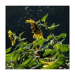 Sonnenblumen...