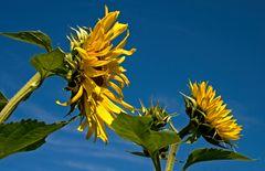 Sonnenblumen, die noch blühen ...