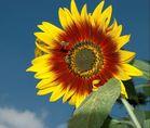 Sonnenblumen-Drive-In