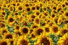 Sonnenblumen von DasNutellabrot