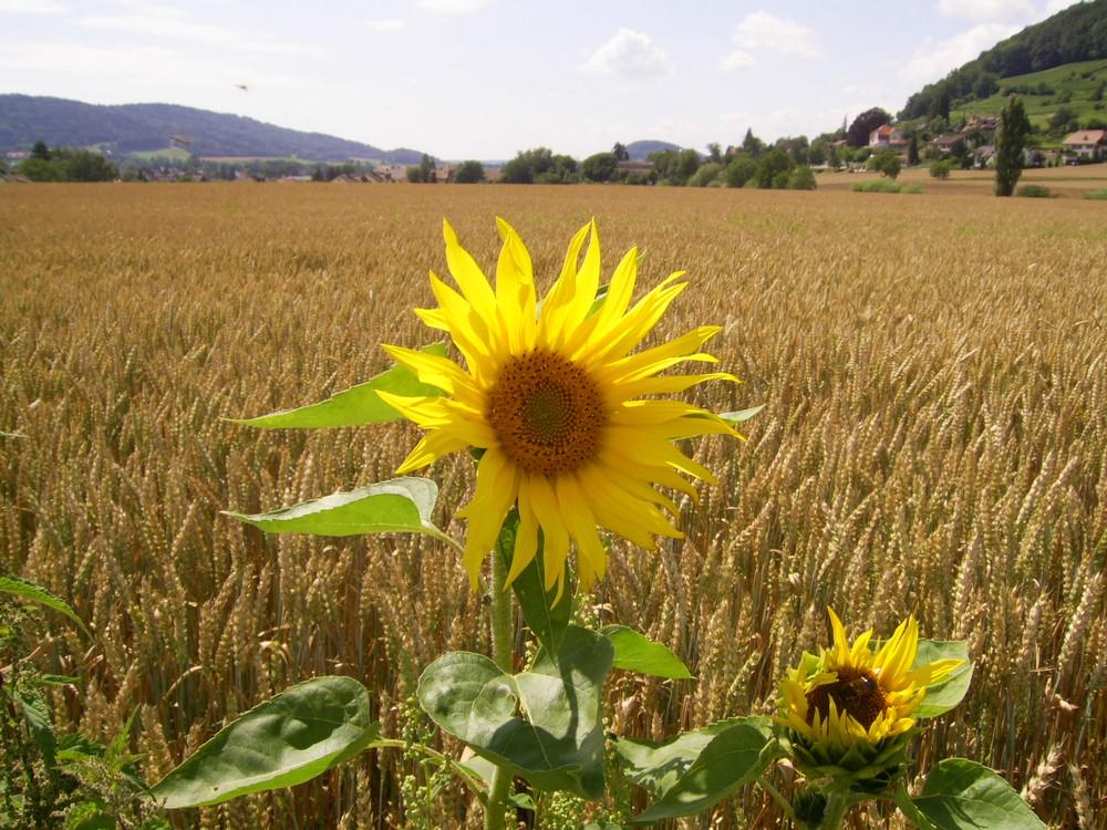 Sonnenblumen erwachen (Der HERBST kommt)