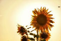 Sonnenblumen im Abendlicht....