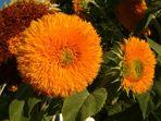 Sonnenblumen im Abendlicht