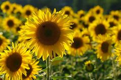 Sonnenblumen im Gegenlicht