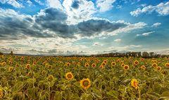Sonnenblumen im Harz